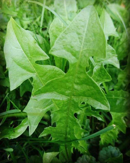 edible medicinal weeds herbal medicine culture europe naturopathy