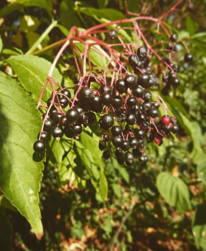 elderberries sambucus nigra medicinal plants european history naturopathy herbalists