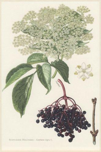 Sambucus nigra - Elderberries