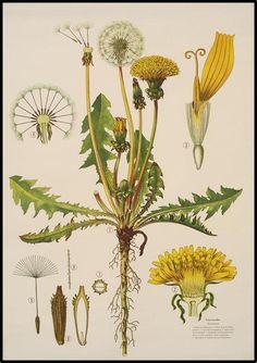 Taraxacum officinale - Dandelion
