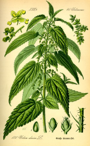Urtica dioica - Nettle